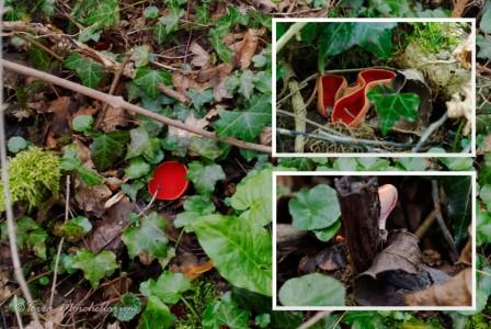 Pézize écarlate - Sarcoscypha cf coccinea. Photo principale : pézize écarlate adulte d'environ 60 mm de diamètre. En haut à droite, plusieurs spécimens poussent ensemble. En bas à droite, de jeunes spécimens se développent.