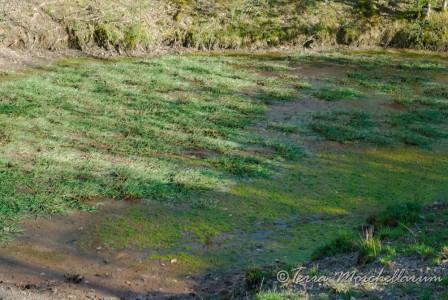 Les mares à triton sont presque à sec en mai.