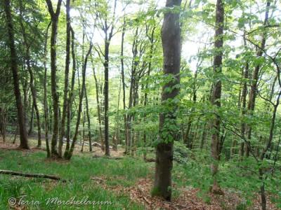 La forêt, plutôt claire, peuplée majoritairement de hêtres où se mêlent quelques résineux.
