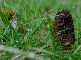 Une jolie morille conique - Morchella conica, du Haut-Doubs