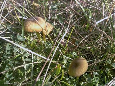 Entolomes à pied vert - Entoloma incanum.