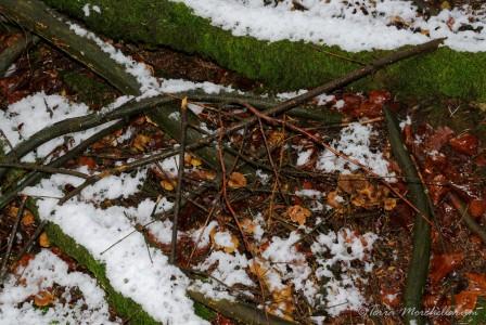 Ces chanterelles en tube n'ont pas été épargnées par la neige.