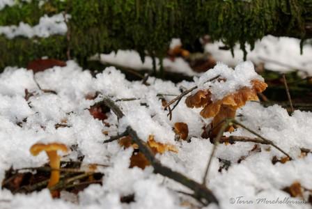 De jolies chantrelles en tube sous la neige.