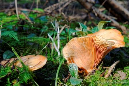 Des lactaires des épicéas - Lactarius deterrimus sous de grands épicéas