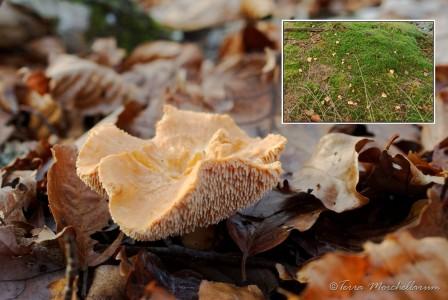 Une belle colonie de pieds de mouton roussissants - Hydnum rufescens.