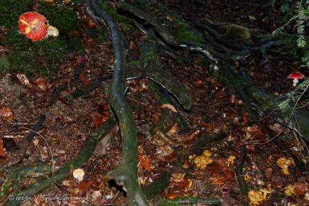 amanites tue-mouches et chanterelles en tube poussent à l'abri de la neige sous les branches basses des sapins.