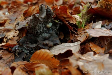 Trompettes - Craterellus cornucopioides de belle taille mais vieilles et gorgées d'eau.