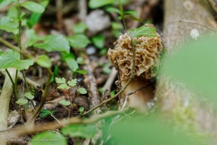 Une belle morille cachée le long d'une branche.