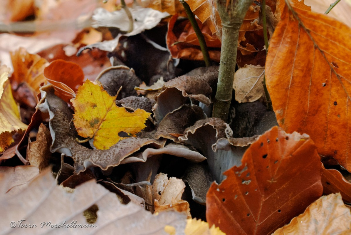 De belles trompettes de la mort - Craterellus cornucopioides sous les feuilles de hêtres et de charmes