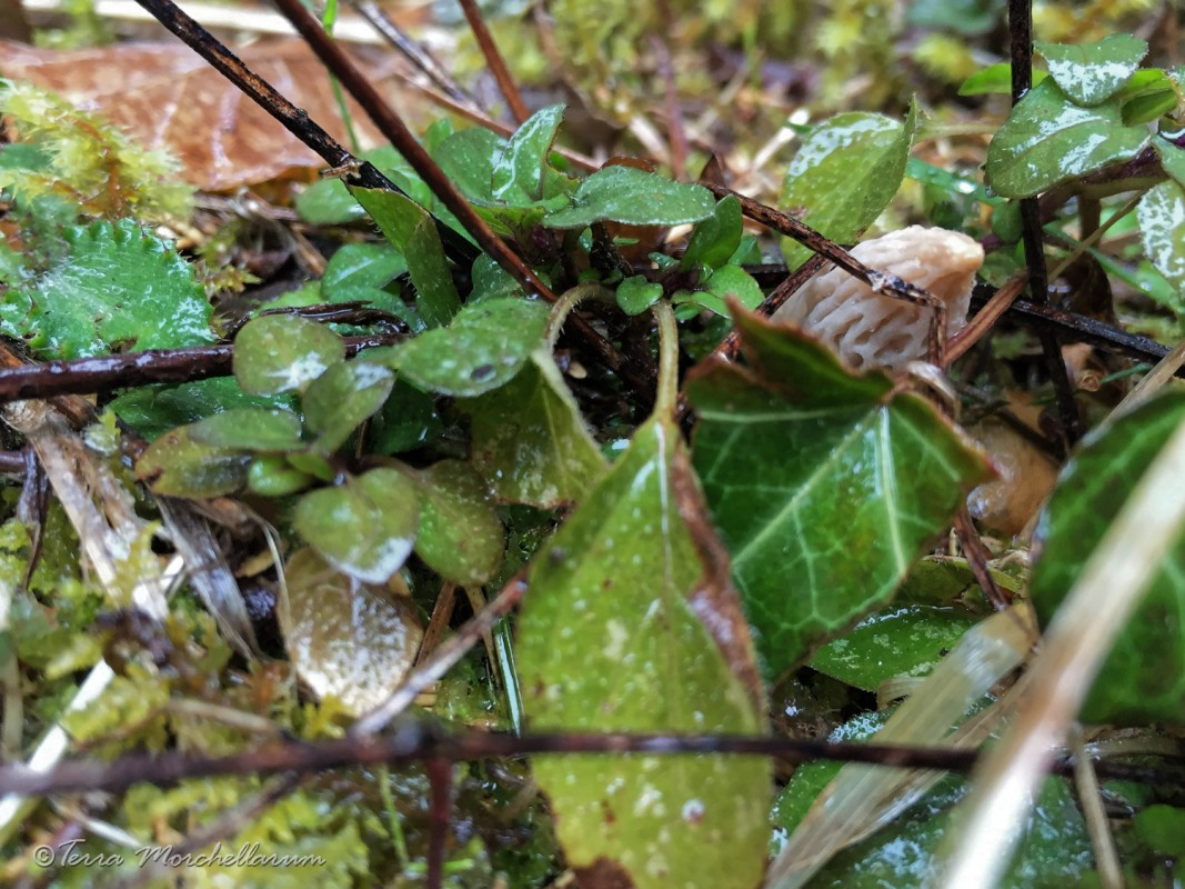 Encore une morille cachée dans la végétation - cliché Laurent F.