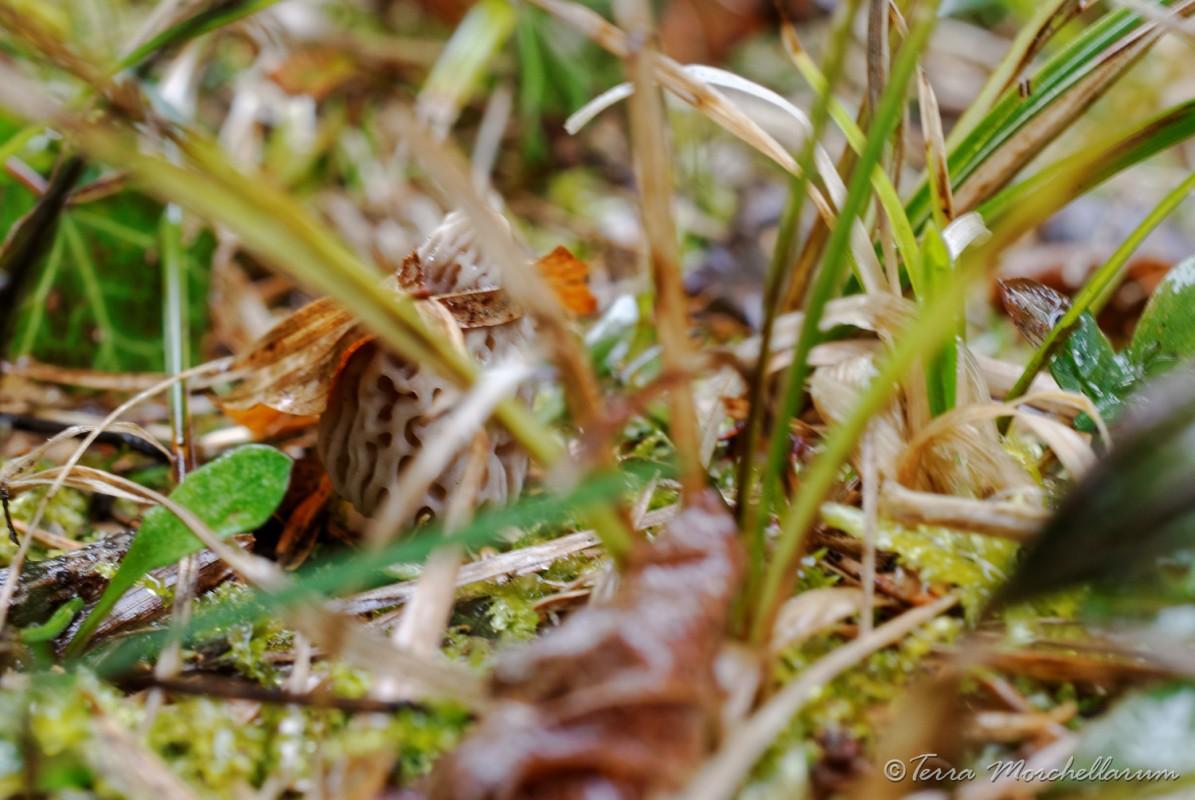 Morille cachée par l'herbe sèche.