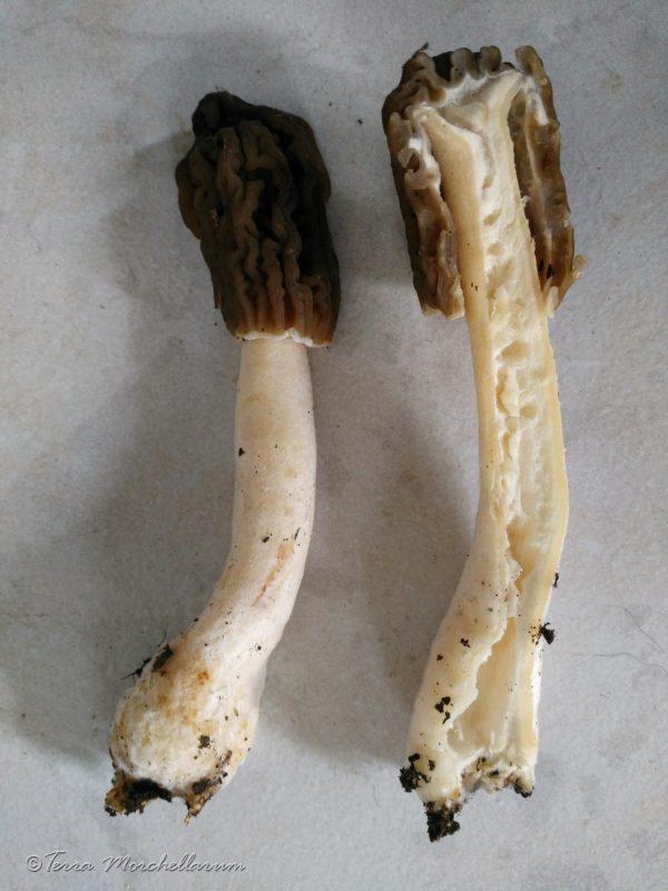 Coupe longitudinale d'une verpe de Bohême