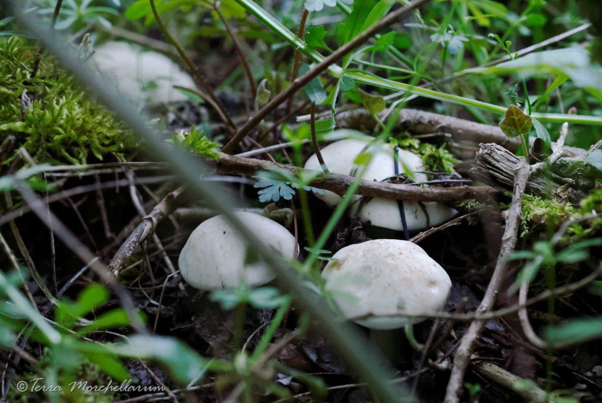 Des tricholomes de la Saint-Georges tout frais