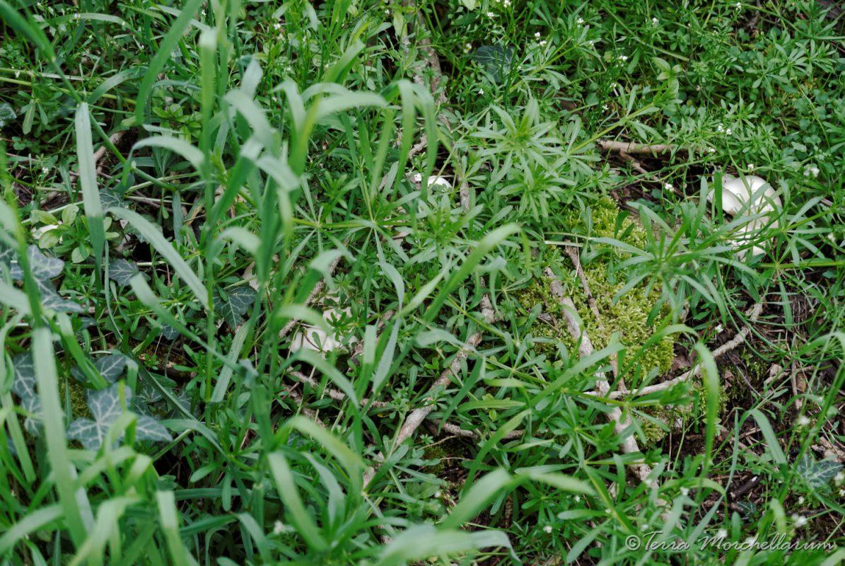 Des tricholomes de le Saint-Georges - Calocybe gambose bien cachés par la végétation