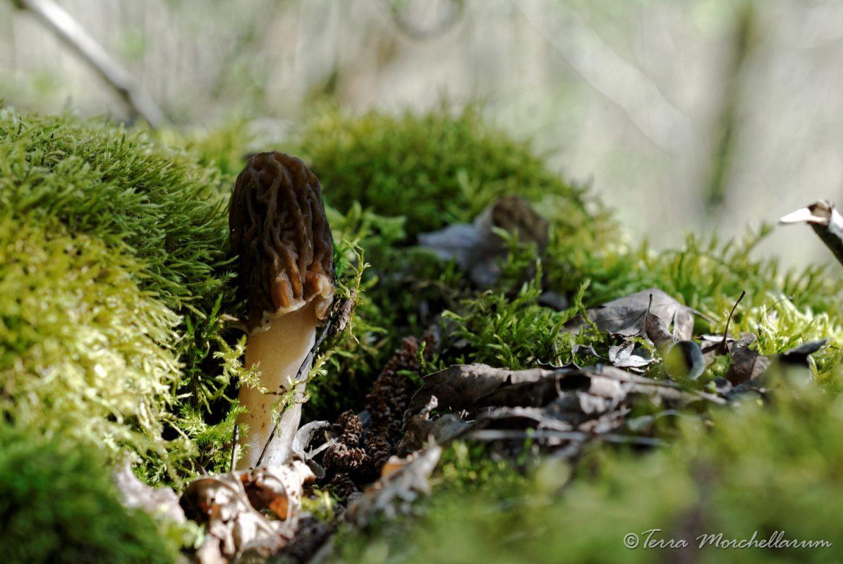 La verpe de Bohême - Verpa bohemica, un champignon très esthétique