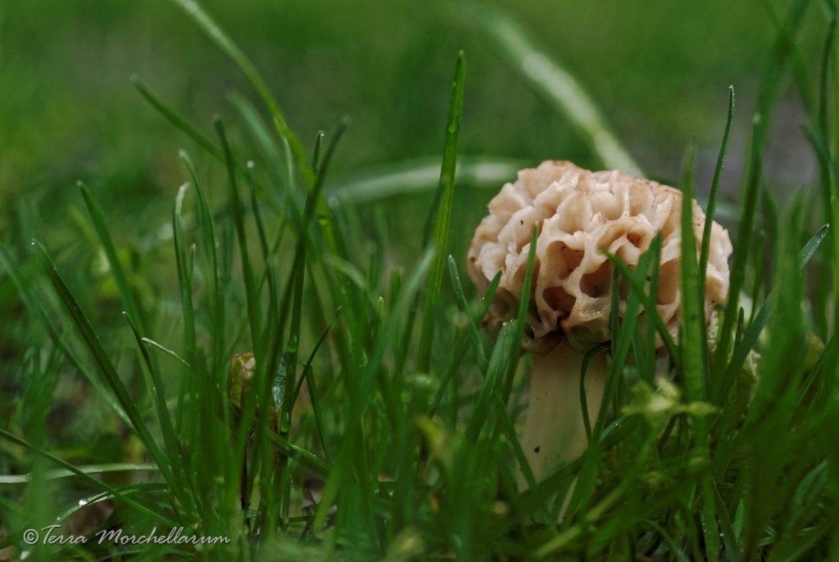 Une belle morille dans l'herbe sous un frêne