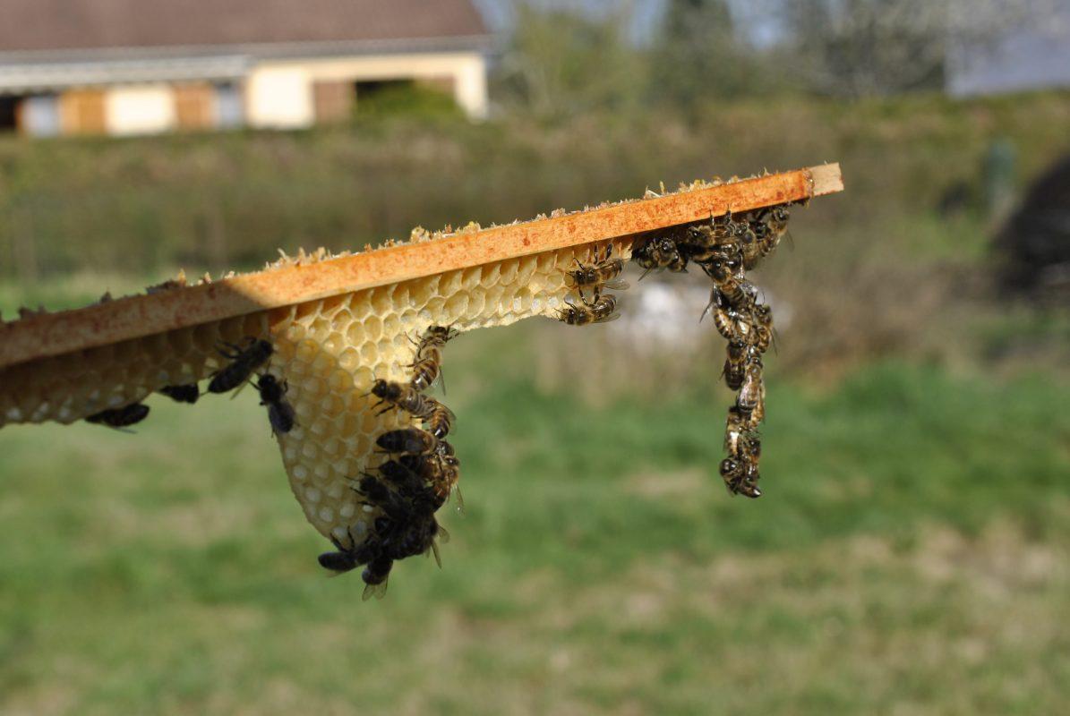 Découverte du monde fascinant des abeilles