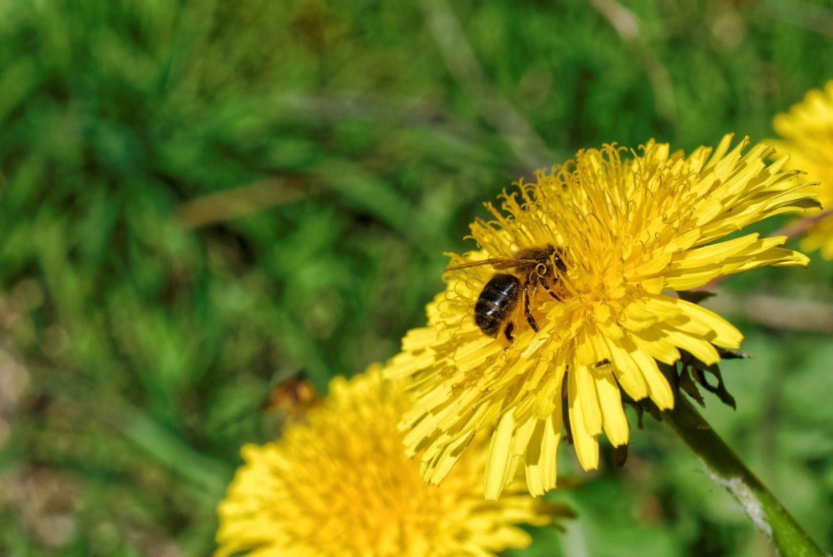 L'abeille, un précieux allié.