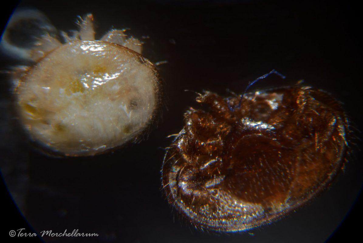 Varroa mâle immature à gauche et femelle mâture à droite