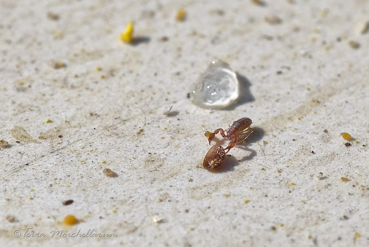 Pseudoscorpion contre varroa