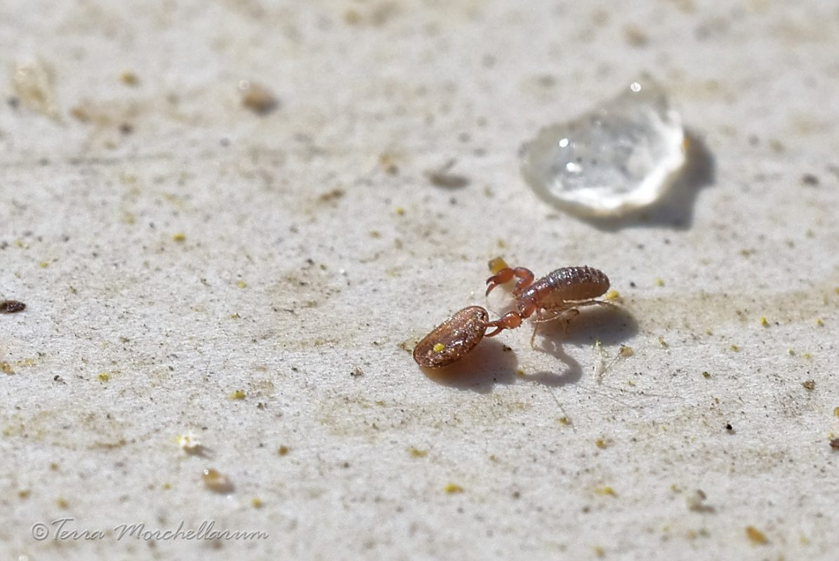 Un autre pseudoscorpion à qui j'ai offert un varroa pour qu'instinctivement il s'en saisisse.