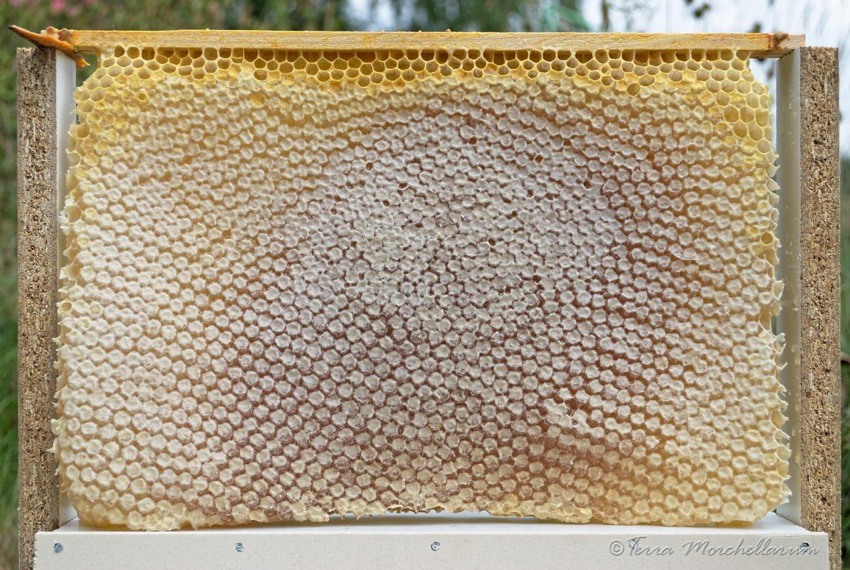 Un beau rayon de miel issu d'une ruche warré.