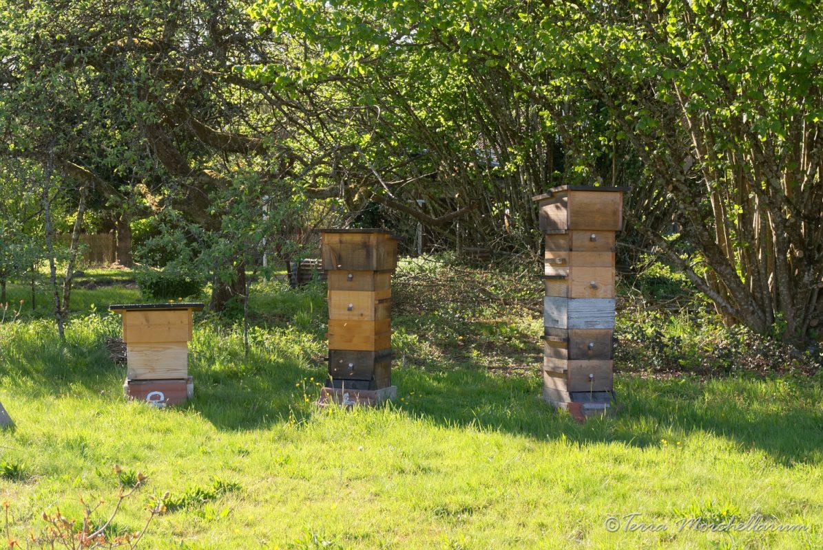 A gauche une ruche Dadant 10c où les pseudoscorpions sont présents (ruche 4 pour les comptage) et tout à droite une ruche Warré où je n'ai pas observé de pseudoscorpions (ruche 5 pour les comptages).