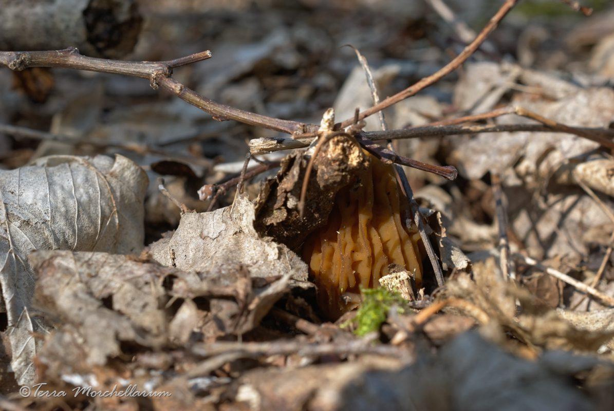 Une verpe de bohême révèle sa présence en soulevant des branchettes.