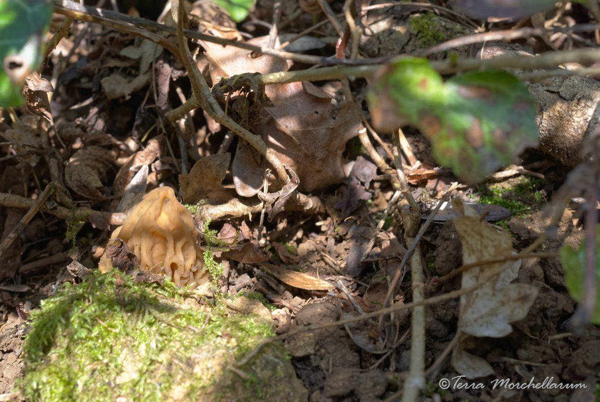 Une jolie verpe de bohême cachée derrière une pierre.
