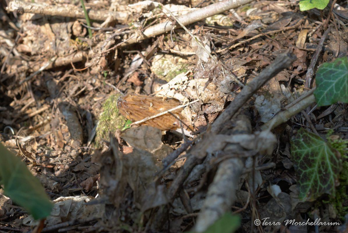 Une verpe de bohême cachée par une branche et des feuilles mortes.