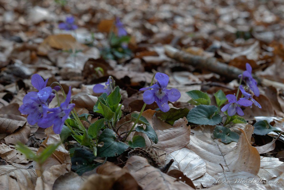 De jolies violettes - Viola sp, bio-indicatrices des sols calcaires ou neutres