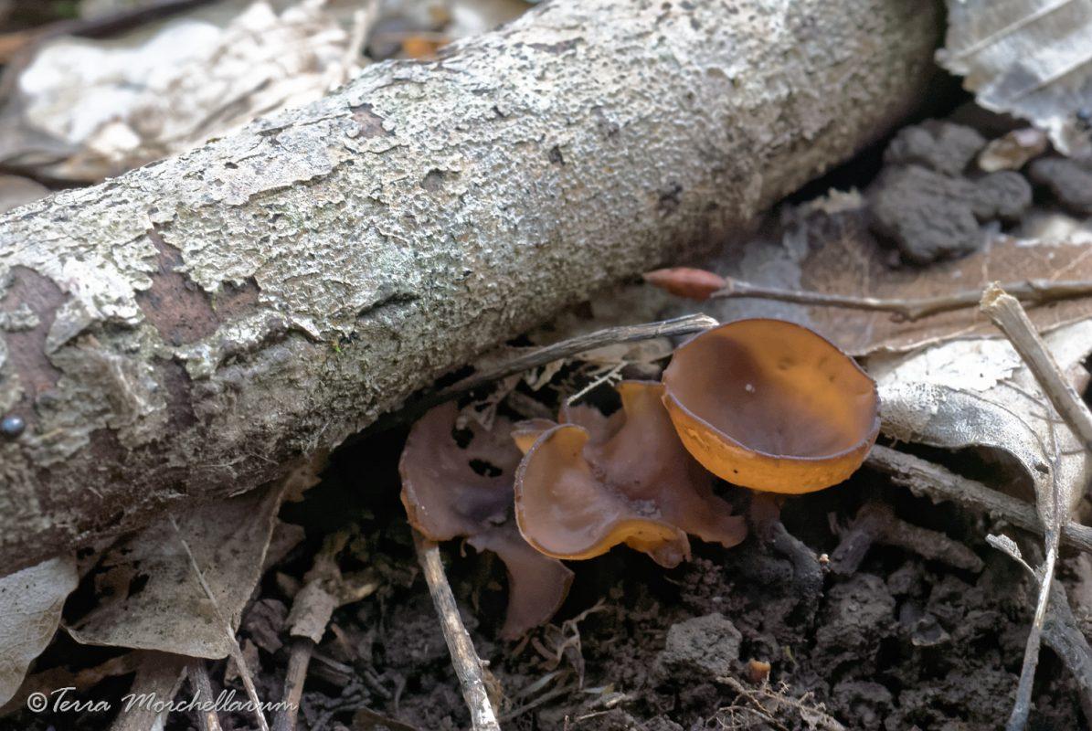 Slérotinie tubéreuse - Dumontinia tuberosa.